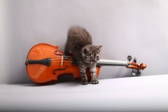 Small cat and a violin. British Shorthair kitten looking at a violin stock photography