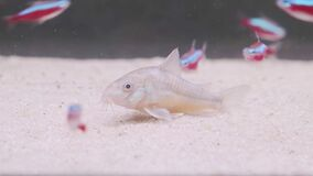 Small catfish Corydoras frontal closeup with blurred background.