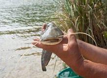Small catfish Stock Photo