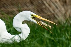 Great White Egret tossing a Small Cat Fish. Cat fish jumping into the beak of Great White Egret royalty free stock photography
