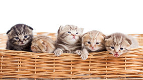 Small cats kittens in basket Royalty Free Stock Photo