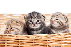 Small cats kittens in wicker basket Stock Images