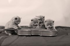 Small cats and a violin. British Shorthair kittens looking at a violin, blue background stock photos