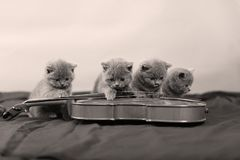 Small cats and a violin. British Shorthair kittens looking at a violin, blue background stock images