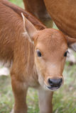 Small cattle Stock Photo