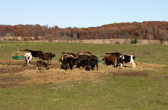 Small cattle herd Stock Photography