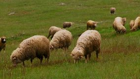 Small cattle. Herd of sheep stock video footage