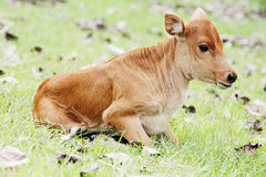 a small cattle lying on the grass Stock Image