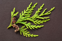 Small cedar branch with tiny pinecones Royalty Free Stock Photography
