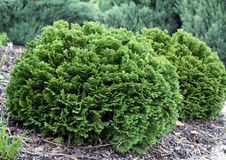 Small cedar thuja occodentalis Stock Photo