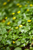 Small celandine field Stock Photos