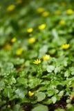 Small celandine field Stock Photos