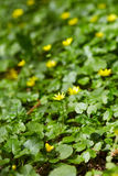 Small celandine field Royalty Free Stock Photos