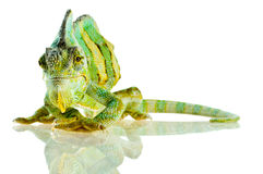 Small Chameleon Stock Photos