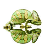 Small Chameleon Royalty Free Stock Images
