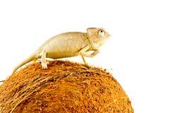 Small chameleon royalty free stock photo
