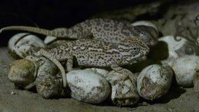 Small chameleons emerging from egg stock footage