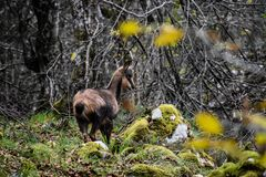 Small chamois in the forest royalty free stock image