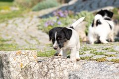 Small charming Jack Russell 7,5 weeks old old. dog puppy standing outdoor in the garden in summer stock photos