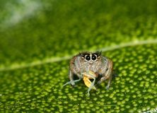 Orange jumping spider from South Africa. Small cheeky looking colorful jumping spider perched on a leaf with fresh prey Royalty Free Stock Image