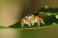 Orange jumping spider from South Africa. Small cheeky looking colorfull jumping spider perched on the edge of a leaf Royalty Free Stock Images