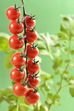 Small cherry Tomatoes Royalty Free Stock Photography