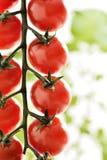 Small cherry Tomatoes Royalty Free Stock Photo