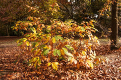 Small chestnut bush turning color Stock Images