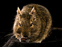 Small chewing rodent Stock Image