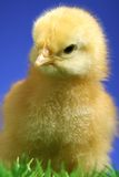 Small chick Royalty Free Stock Photo