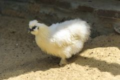 Small chick bird on sand. Baby chicken bird animal walking in fa. Rm Stock Photography