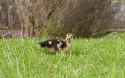 Small chick duck Stock Photo