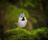 Small chickadee bird Stock Photos