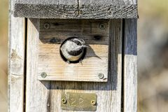 Small chickadee in a birdhouse. A tiny Mountain Chickadee pops its head out of a bird house at Farragut State Park in north Idaho stock photography