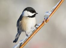 Black-Capped Chickadee Perched On An Ice Covered Branch Royalty Free Stock Image