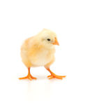 Small chicken Royalty Free Stock Images