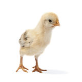 Small chicken. Isolated on white Stock Photos