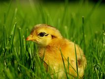 Small chicken Royalty Free Stock Photos
