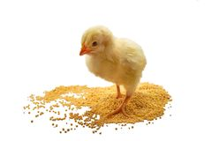 Small chicken broilers eats grain isolated on white. Broiler small chicken eats grain isolated on white stock photo