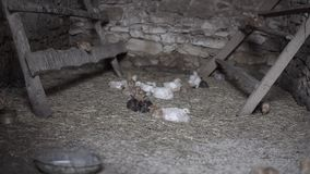 Small chicken. Close up of small chicken inside of an old chicken coop made of stone with some of them sitting on a roost stock video footage