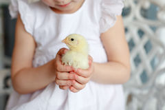 Small chicken close-up, which is holding a little girl in a whit Stock Images
