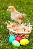 Small chicken with colorful Easter eggs Royalty Free Stock Photo