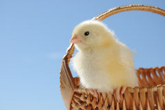 Small chicken in crib Royalty Free Stock Images