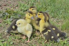 Small chicken and ducklings 4 Royalty Free Stock Photography