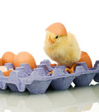 Small chicken with eggs Stock Photography