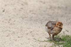 Small chicken on the farm Stock Image
