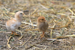 Small chicken on the farm Stock Photography
