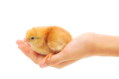 Small chicken on hand Royalty Free Stock Photography