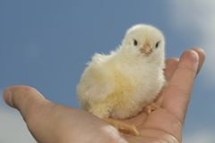 Small chicken on hand Royalty Free Stock Image