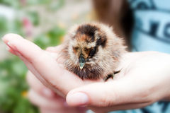 Small chicken in his hands Royalty Free Stock Photos